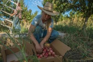 Katie Fyhrie, 25, begins her day recently by harvesting nectarines with Cloverleaf farm owner Emma Torbert, left, on a stone fruit orchard at the Collins Farm in Davis. The two women are among a wave of young people who are breaking into agriculture, an industry typically viewed as male-dominated.